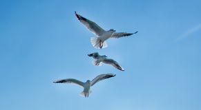 Three gulls Royalty Free Stock Images