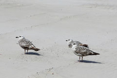 Three gulls have a rest on a sandy. Beach in Kolobrzeg, Poland Royalty Free Stock Photos