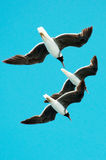 Three gulls hovering in the sky. Close up Stock Image