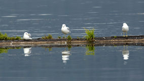 Three gulls perched. Herring gulls are perched on a floating pole in Chatcolet Lake in north Idaho Stock Images