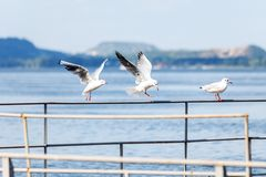Three gulls sitting on the parapet by the river. Seagulls on the background of the river and mountains in the distance royalty free stock image