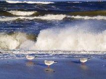 Three gulls. Standing at sea shore Stock Image