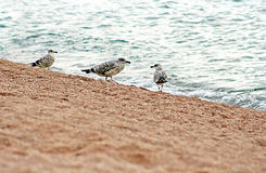 Three gulls. Standing on the shoreline Stock Photos