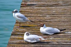 Three Gulls Sunbathing on a Dock Stock Photos