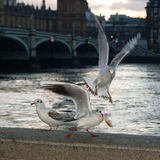 Three gulls at the thames. With big ben in the background stock image