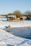 Three Haflinger horses eating at metal feeding site with frozen lake and snow covered landscape, Germany Stock Images