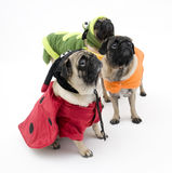 Three Halloween Pugs Stock Images