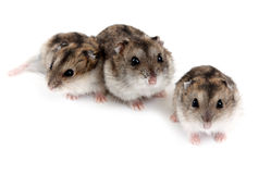Three hamsters Stock Image