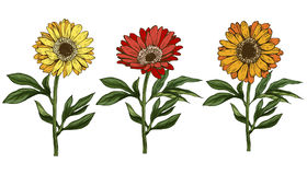Three hand drawn yellow and red daisy flower with stem and leaves isolated on white background. Botanical  illustration Stock Photo
