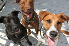 Three happy dogs. Look up at the camera, seem to be smiling royalty free stock photo