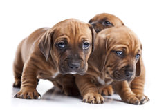 Three happy dogs  on white background Royalty Free Stock Photography