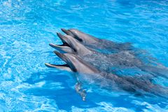 Three happy dolphins looking out of the blue water close up royalty free stock photography