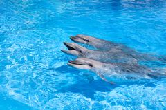 Three happy dolphins looking out of the blue water close up royalty free stock images