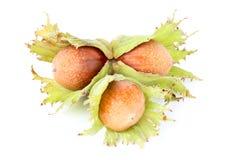 Three hazelnuts in shell. Stock Image