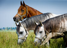 Three head of arabian horses Stock Photography