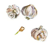 Three Heads Of Garlic And Slice, Watercolor Sketch, Isolated Stock Photo