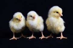 Three Healthy Chicken Black Background Stock Photo