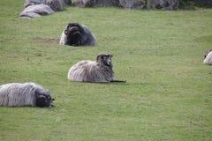Three Heidschnucke sheep lying on field stock photos