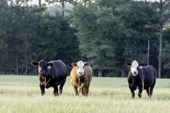 Three heifers in a pasture at sunset Stock Photos
