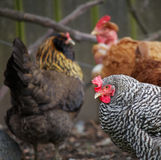 Three hens Stock Photography
