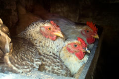 Three hens posed while hatching Stock Images