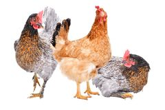 Three hens together. Isolated on white background stock images