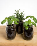 Three herb plants on wooden table Royalty Free Stock Photography