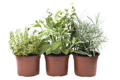 Three herbs in the pots Stock Photo