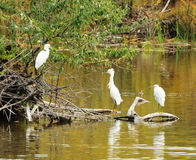 Three herons Stock Image