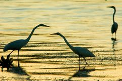 Three herons. A three heron at sunset Royalty Free Stock Images