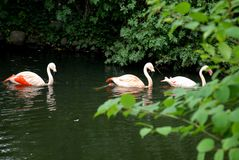 Three herons rose swim in the pond in the zoo in Berlin in Germany Stock Photos