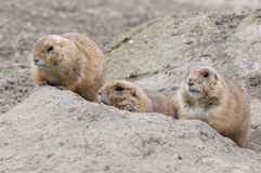 Three hiding prairie dogs (genus Cynomys) Stock Photo