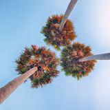 Three high palm trees shot from below Stock Images