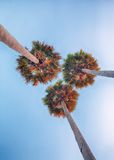 Three high palm trees shot from below Royalty Free Stock Photography