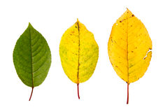 Three high resolution autumn leaves. Isolated on white background Royalty Free Stock Photo