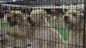 Three highbred white Schnauzers sitting in cage at dog exhibition, trained pets. Stock footage stock video