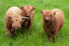 Three Highland Cows Stock Images