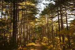 Three hikers go through a vide path in autumn mountain pine forest. Vivid yellow fall photo. Trekking sport and tourism. Stock Photo