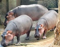 Three Hippopotami - Hippopotamus - Huge Animals - at zoo, Trivandrum, India