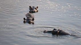 Three hippopotamus Hippopotamus amphibius in river with only their heads visible. Three hi hippopotamus Hippopotamus amphibius in river with only their heads royalty free stock photos