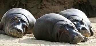 Three hippopotamus Stock Images