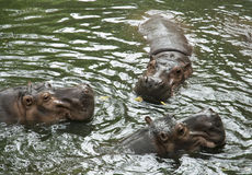 Three hippopotamuses in the river. Three hippopotamuses are lying in the cool river royalty free stock photo