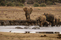 Three Hippos in The Elephant Lake Stock Photography