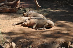 Three hogs sleeping in the dirt. Royalty Free Stock Images