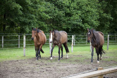 Three Holsteiner horses Royalty Free Stock Photo