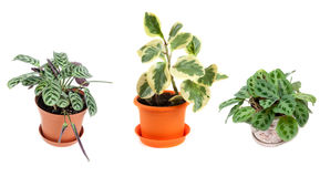 Three home flowers in pot. On white background Stock Photo