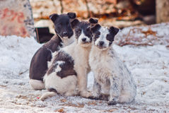 Three homeless puppies. Three  nice  homeless puppies  sitting together outdoor Royalty Free Stock Photography