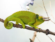 Three-horned chameleon (Chamaeleo jacksoni xantholophus) Royalty Free Stock Photography