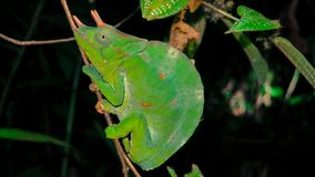 Three-horned chameleon sitting on stem of branch at night time. Green three-horned chameleon - trioceros deremensis resting on stem of leaf at night time royalty free stock photo