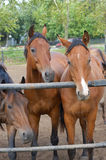 Three horse Stock Photography